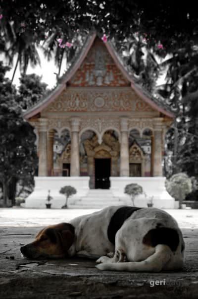 Dog taking a rest during mid day heat. Luang Prabang. Laos.